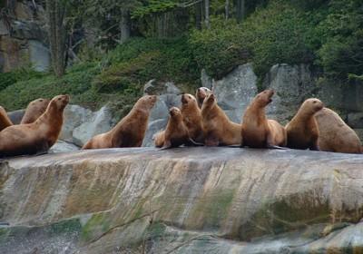Sea Lions Vancouver Island